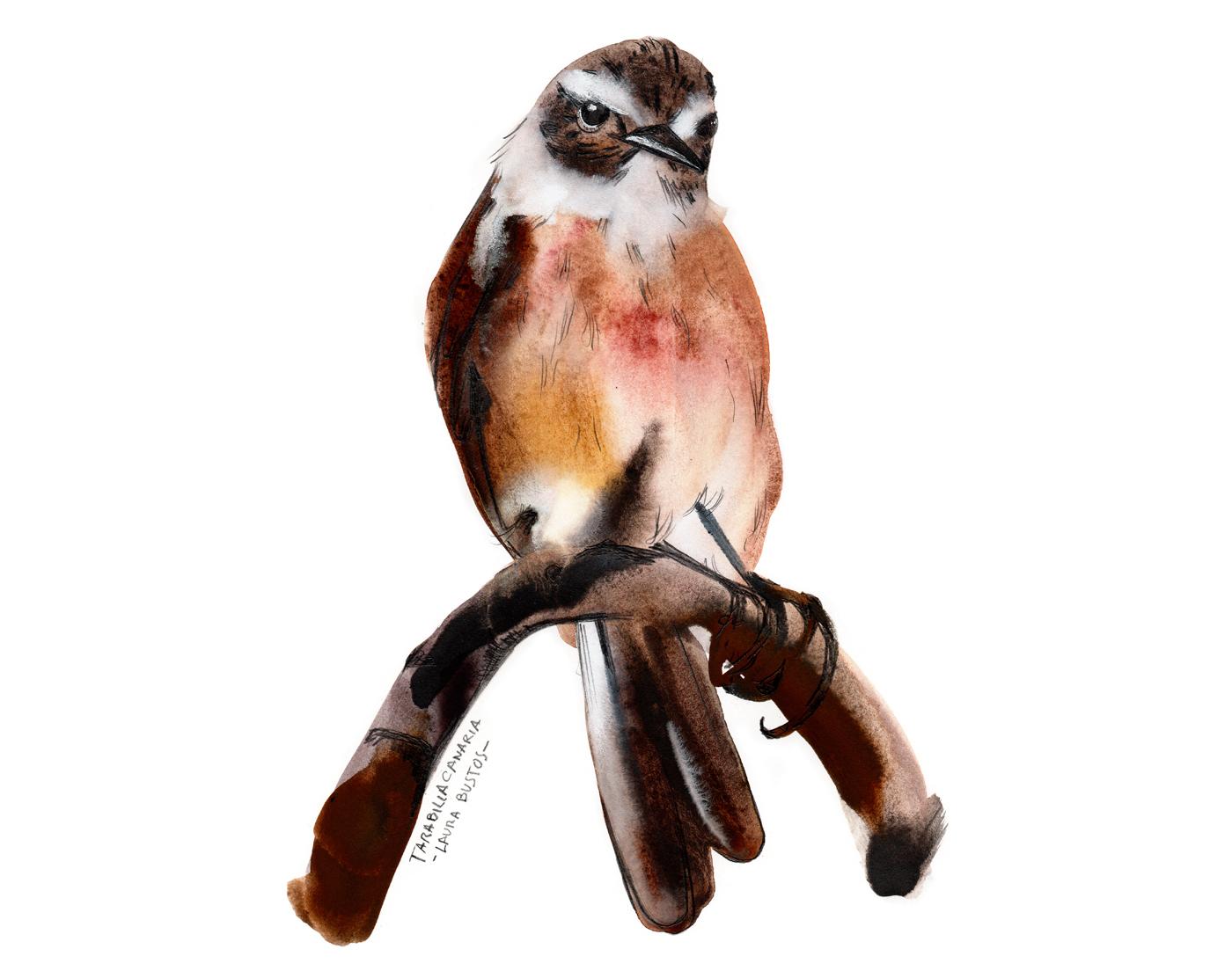 Proyecto personal pájaros Tarabilla canaria realizado en grafito acuarelable